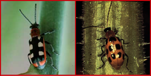 Common asparagus beetle adult (left) and spotted asparagus beetle adult (right). Photos courtesy of Karen Delahaut