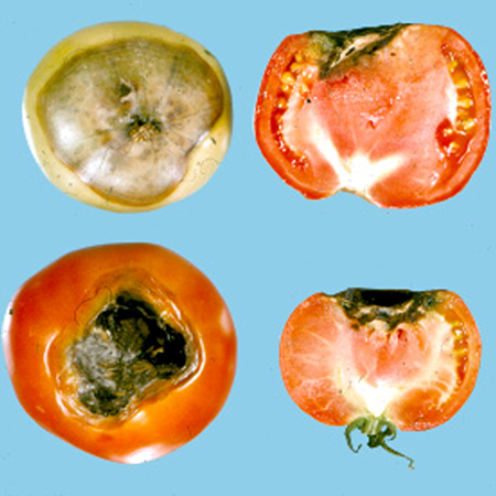 Blossom end rot of tomato.
