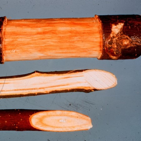 Discoloration of wood just under the bark of elm branches can indicate the presence of one of the DED fungi.