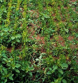 Stunting and yellowing of alfalfa plants.