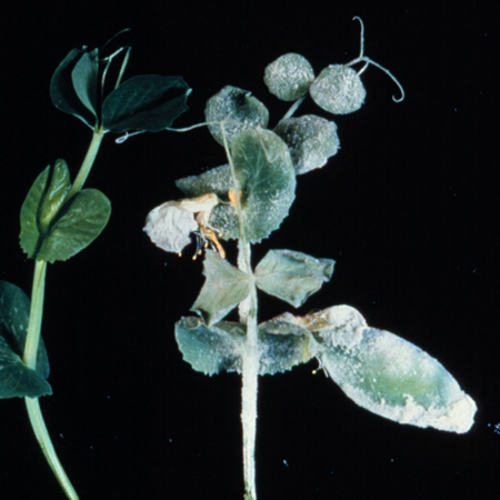 Peas are another vegetable that can have severe powdery mildew problems.