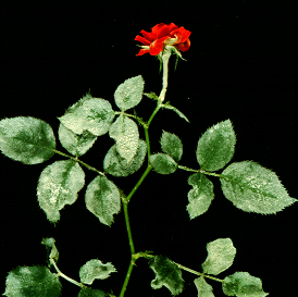 Many woody plants such as rose and lilac are susceptible to powdery mildew.