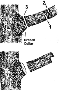 How to Properly Prune Deciduous Trees