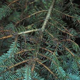 Browning of interior spruce needles caused by Rhizosphaera needle blight.