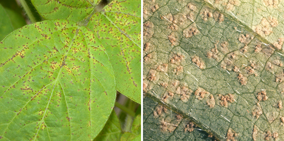 Soybean rust causes small tan to reddish brown leaf spots (left) that first appear on lower leaves of soybean plants. Pimple-like pustules that are filled with tan spores form on the lower surface of infected leaves (right).