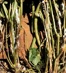 Stem cankers, cottony mycelia and sclerotia (see arrows) of white mold on snap beans.
