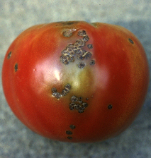 Sunken, scabby bacterial spot lesions on ripening tomato fruit. (Photo courtesy of Mary Ann Hansen, Virginia Polytechnic Institute and State University)