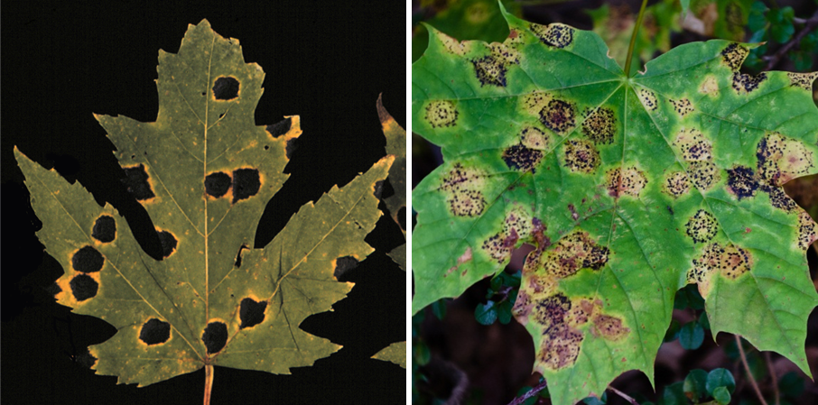 Symptoms of tar spot of silver maple caused by Rhytisma americanum (left) and tar spot of Norway maple caused by Rhytisma acerinum (right).
