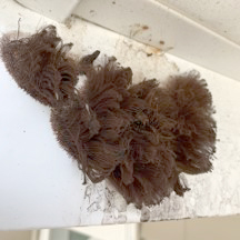 Chocolate Tube Slime Mold on a House Soffit