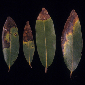 Ramorum leaf blight symptoms can mimic those of other leaf spots and blights.