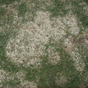 Typhula blight causes circular patches of bleached turf that often merge to form larger, irregularly-shaped bleached areas.
