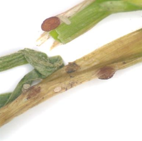 Sclerotia (survival structures) of Typhula incarnata are small and red or rust-colored.