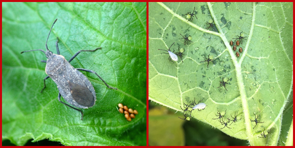 A squash bug adult with a cluster of eggs (left) and squash bug larvae with eggs (right). Photos courtesy of Whitney Cranshaw, Colorado State University (left photo) and PJ Liesch, University of Wisconsin-Madison (right photo).