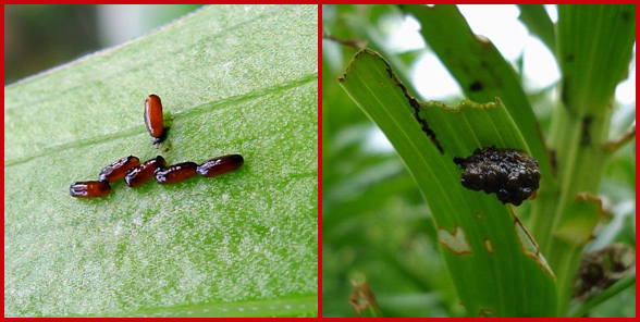 Lily leaf beetle eggs (left) and a lily leaf beetle larva camouflaged with its own feces. Photos courtesy of Gail Hampshire (left) and Kenneth R. Law, USDA APHIS PPQ, Bugwood.org