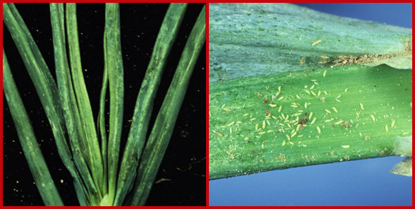 Onion thrips damage to onion leaves (left) and numerous onion thrips adults and nymphs on an onion leaf (right). Phots courtesy of Karen Delahaut (left) and Joe Ogrodnik, Cornell University (right).