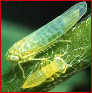 Potato leafhopper adult and nymph.  Photo courtesy of Arthur Hower, Penn State University
