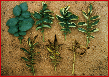 Leaves showing potato leafhopper damage from none (upper left) to severe (lower right).  Photo courtesy of Jeff Wyman