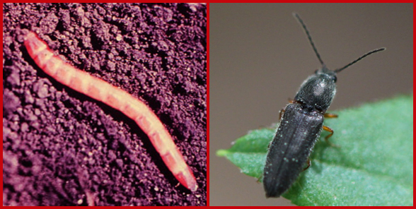 A wireworm or click beetle larva (left) and an adult click beetle (right). Photos courtesy of Karen Delahaut (left) and PJ Liesch (right).