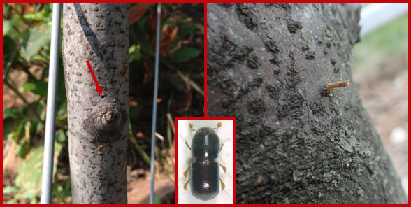 A black stem borer entry hole (left), a compressed sawdust toothpick emerging from an entry hole (right), and an adult black stem borer (inset). Photos courtesy of Deborah Breth (Cornell Cooperative Extension), Chris and Juli McGuire (Two Onion Farm), and Maja Jurc (University of Ljubljana), respectively.