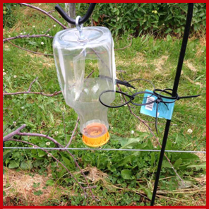 A black stem borer trap. Photos courtesy of Deborah Breth (Cornell Cooperative Extension).