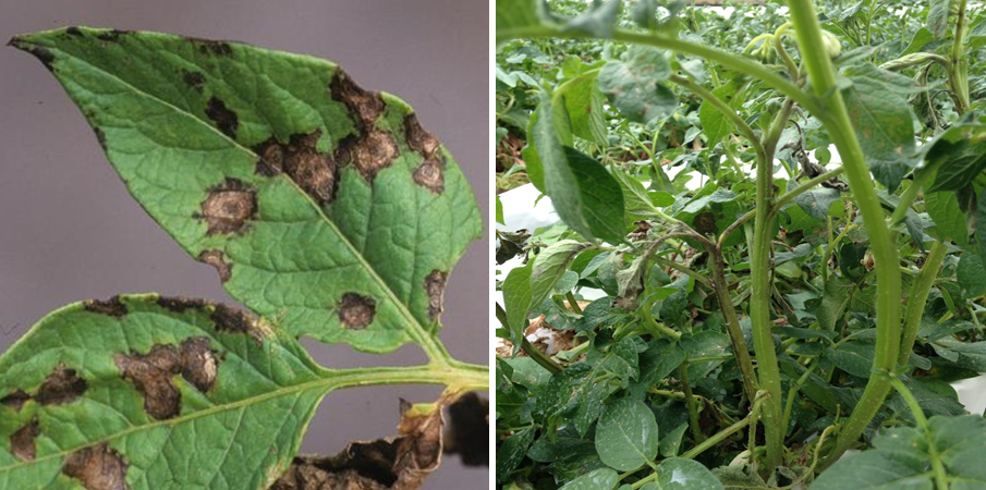 Leaf spots with concentric rings (left) and stem streaking (right) typical of potato plants due to Tomato spotted wilt. Photos courtesy of G. J. Holmes (left) and Joshua Kunzman (right).