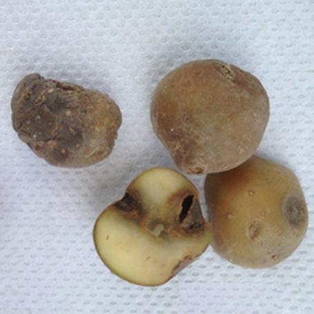 Surface and internal tuber symptoms due to Tomato spotted wilt . Photos courtesy of Joshua Kunzman.