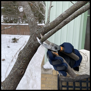 Pruning in the winter can reduce the risk of disease-causing organisms infecting trees and shrubs through pruning cuts.