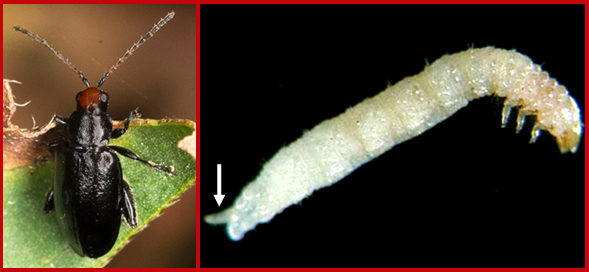 A cranberry flea beetle adult (left) and larva (right). Note the fleshy projection at the rear end of the larva (white arrow). Photos courtesy of Shannon Schade (left) and Tim Dittl, UW-Madison (right).