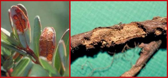 Leaf damage with skeletonization (left) and root damage (right) due to cranberry flea beetle feeding. Photos courtesy of Tim Dittl, UW-Madison.