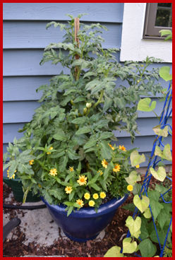 Containers are a convenient place to grow your favorite vegetables and herbaceous ornamentals.