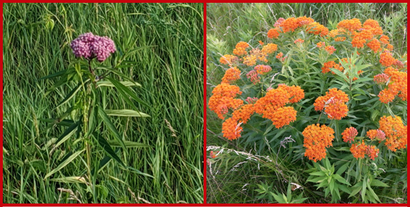 Swamp milkweed (left) and butterfly weed (right) are two other common milkweed species grown in home gardens.  Photos courtesy of Bridget Kelley (left) and Deb Andazola (right).