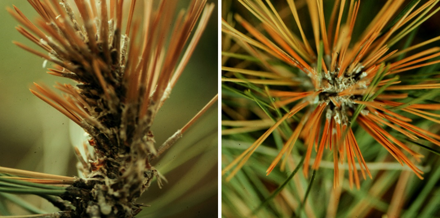 Needles of different lengths (left) and production of excessive resin on branch tips (right) are typical symptoms of Diplodia shoot blight and canker.