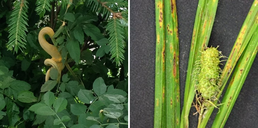 An elderberry rust gall on elderberry (left) and leaf spots caused by elderberry rust on sedge (right). Photos courtesy of Jenell Bindl (left) and Michele Warmund, University of Missouri (right)