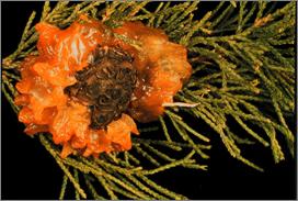 Gymnosporangium Rusts