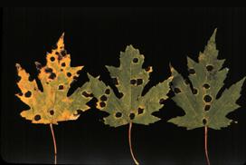 Tar Spot - Ten Common Plant Diseases